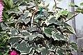 Hedera canariensis Gloire de Marengo 0zz.jpg