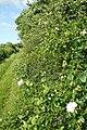 Hedgerow on Gypsy Lane - geograph.org.uk - 862678.jpg