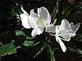 Hedychium coronarium - കല്യാണസൗഗന്ധികം 02.JPG
