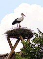 Heidekrug Münster Storch mit Jungen.jpg