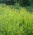 Helenium aromaticum Cephalophora aromatica BotGardBln07122011D.jpg