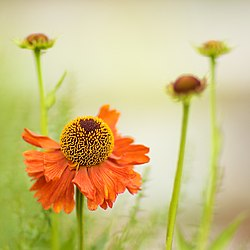 meaning of helenium