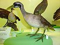 Heliornis fulica Museum de Genève.JPG