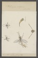 Helwigia - Print - Iconographia Zoologica - Special Collections University of Amsterdam - UBAINV0274 046 04 0046.tif