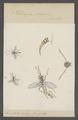 Helwigia - Print - Iconographia Zoologica - Special Collections University of Amsterdam - UBAINV0274 046 04 0046.tif
