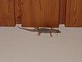 Hemidactylus bowringii (39304555190).jpg