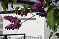 Hendonstraße, violetter Flieder 20140429 49.jpg