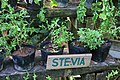 Herbs at Bohol Bee Farm d.jpg