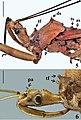 Heza pallidula (10.3897-zookeys.872.35137) Figures 5, 6.jpg
