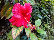 Hibiscus Red.jpg