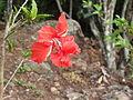 Hibiscus schizopetalus pagoda-bsi-yercaud-salem-India.JPG