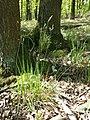Hierochloe australis sl55.jpg