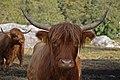 Highland Cattle (8103626170).jpg
