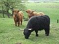 Highland Cattle - geograph.org.uk - 166853.jpg