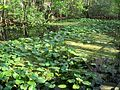 Highland Hammocks SP Swamp Trail swamp03.JPG