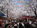 Hirano Shrine Cherry Blossoms April 2010.JPG