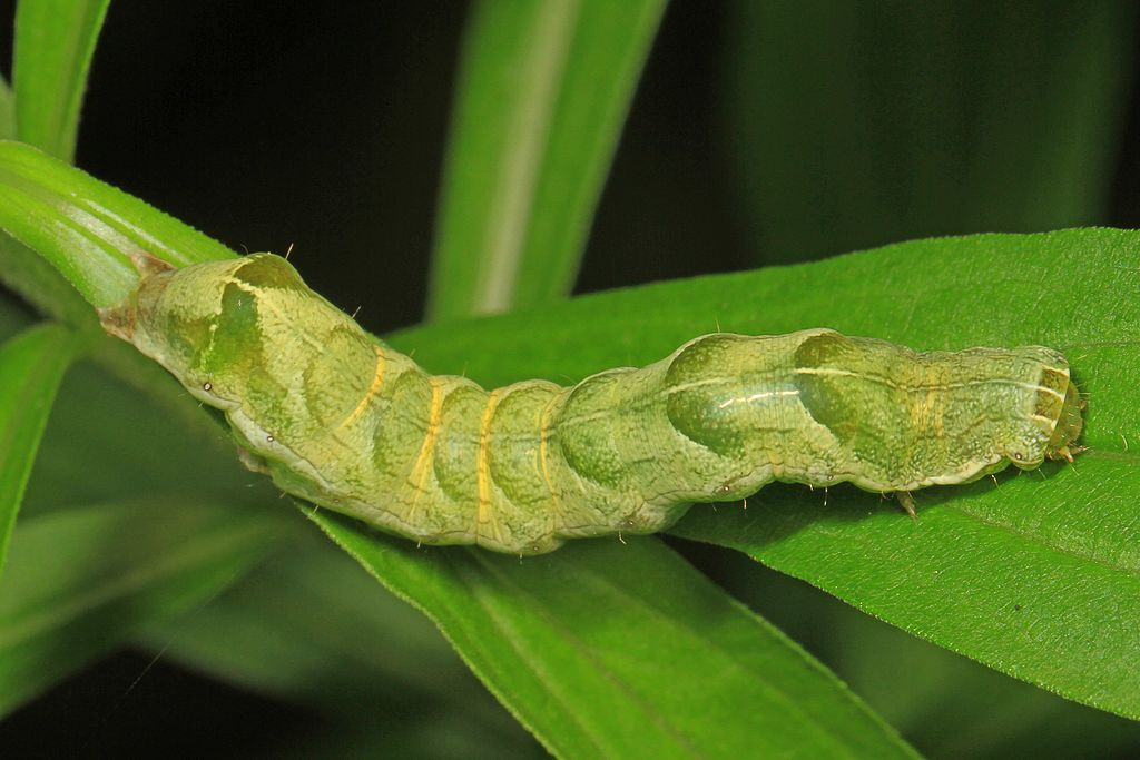 Hitched Arches Moth Caterpillar