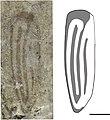 Holcoptera schlotheimi NHMUK I.10783 holotype and illustration.jpg