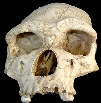 Accretion model of Neanderthal origins - Image: Homo erectus tautavelensis