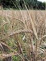 Hordeum vulgare ripe, Gerst oogstrijp.jpg