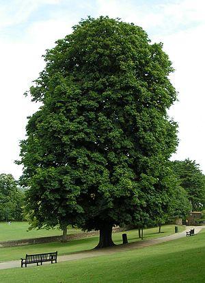 Aesculus hippocastanum - Image: Horse chestnut 800