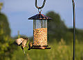 House Finches at Feeder (11888967613).jpg