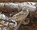 House Sparrow (Passer domesticus) female - Flickr - Lip Kee.jpg