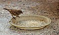 House sparrow feeding grains.jpg