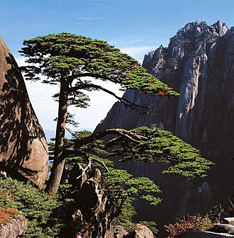 Huangshan - The well-known Ying Ke Pine (迎客松), or Welcome Pine
