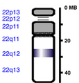 Human chromosome 22 from Hemabase database.png