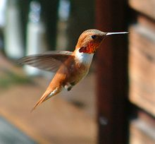 Hummingbird hovering in flight.jpg