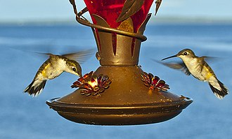 Bird feeder - Two hummingbirds hovering by a feeder
