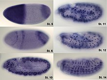 In situ hybridization of wild type drosophila embryos at different