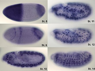 Gene expression - In situ-hybridization of Drosophila embryos at different developmental stages for the mRNA responsible for the expression of hunchback. High intensity of blue color marks places with high hunchback mRNA quantity.