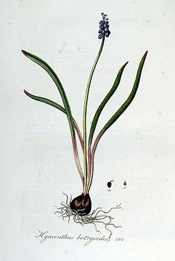 Hyacinthus botryoides — Flora Batava — Volume v5