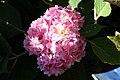 Hydrangea macrophylla Blushing Bride 4zz.jpg