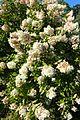 Hydrangea paniculata 'Grandiflora' kz2.jpg