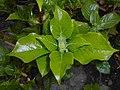 Hydrangea petiolaris 2016-04-19 8153.JPG