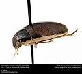 Hydrophilidae Tropistemus lateralis -- Diving Beetle (26645831933).jpg