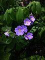Hydrophyllum appendiculatum Appendaged waterleaf S2.jpg