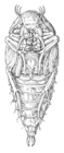 Hydrous piceus pupa.png