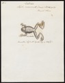 Hyla marmorata - 1700-1880 - Print - Iconographia Zoologica - Special Collections University of Amsterdam - UBA01 IZ11500219.tif