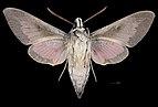 Hyles vespertilio MHNT CUT 2010 0 228 male Pelvoux ventral.jpg
