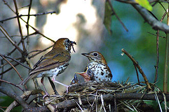 Wood thrush - Nesting in Pennsylvania, USA