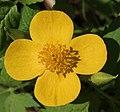 Hylomecon japonica flower.JPG