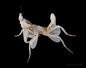 Exuviae - Image: Hymenopus coronatus MHNT Exuvie