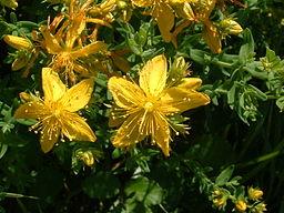 fleurs ett feuilles de millepertuis