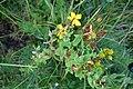 Hypericum perforatum L. familija (Hypericaceae) 03.jpg