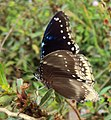 Hypolimnas bolina - Great Eggfly at Thillankeri 18.JPG