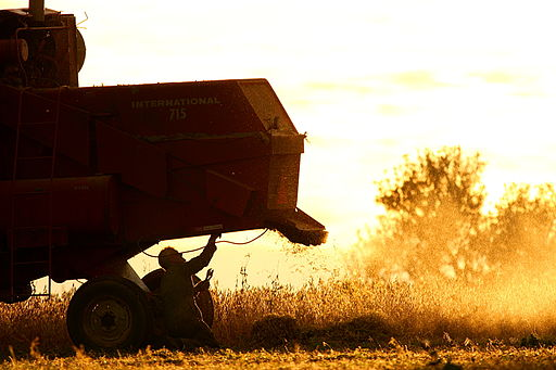 IHC International 715 combine, harvesting at sunset, PEI 2008 c